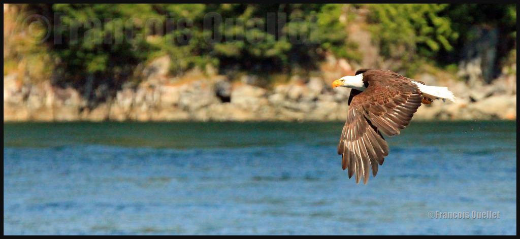 Aigle observé dans la région de Campbell River, été 2012.