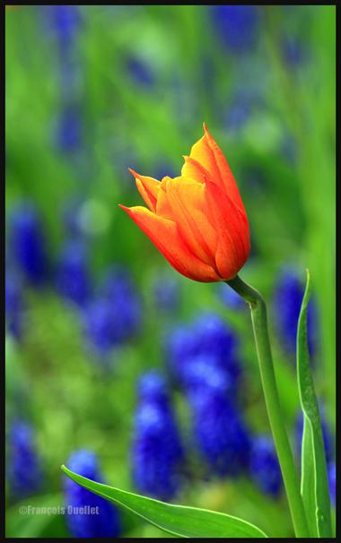 Une tulipe dans le Bois-de-Coulonge, Ville de Québec.