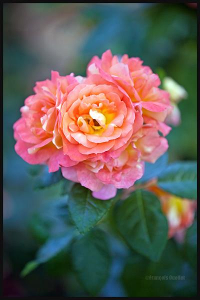 Rose du Jardin anglais de Genève, 2013.