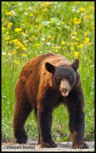 Ours brun près du Yellowhead Highway, Alberta, Canada en 2014