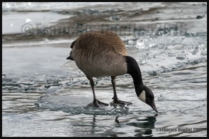 Canada-Goose-in-Toronto-Harbour-during-winter-2016-web