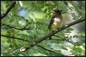Cedar-Waxwing-in-a-Russian-mountain-ash-web