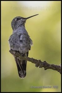 Hummingbird-in-Victoria-2016-web