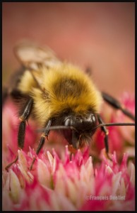 IMG_0865-Resize-Busy-Bumblebee-signed