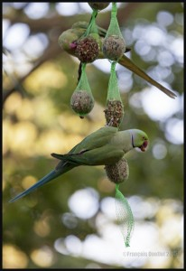 IMG_5418-London-Hyde-Park-and-Green-Ring-necked-Parakeets-web