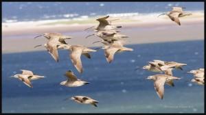 Ornithologie-Îles-de-la-Madeleine-le-courlis-corlieu-2017-web