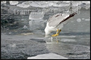 Seagull-having-a-cold-drink-on-the-rocks-in-Toronto-harbour-2016-web